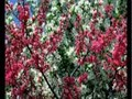 Infloresc gradinile – cantec de primavara